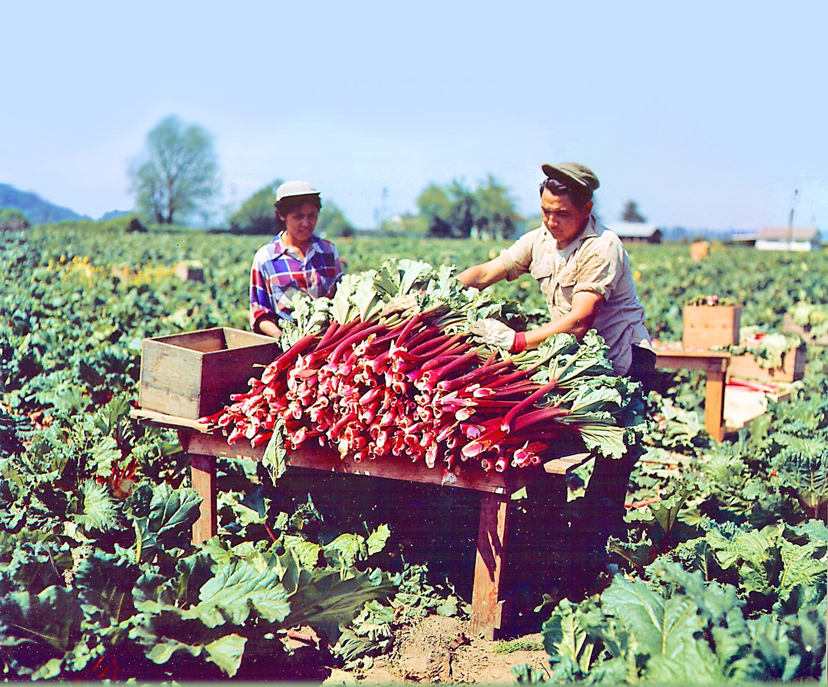 Historic rhubarb_webback